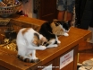 Kalkan kittens