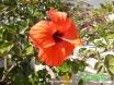 Hibiscus - All around The Mediterannean Aptmts