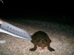 Turtle on Kalkan Beach 14 June