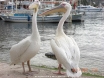 Pelicans at Kas Dec 07