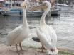 Pelicans at Kas Dec 07